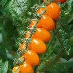 Paradižnik, oranžni, zgodnji, datelj – Fantino F1 (1)