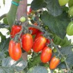 Paradižnik, zgodnji, daterino – Valido (ES 1004) F1 (1)