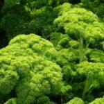 Začimbnice – peteršilj, kodrolistni – Petra